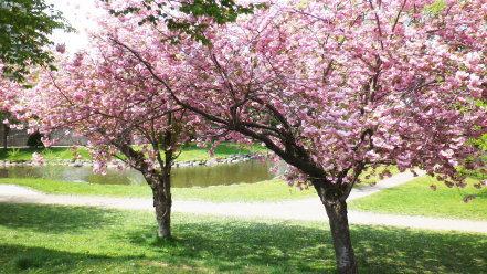 中島公園の八重桜