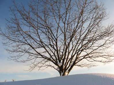 冬の野幌森林公園 樹木