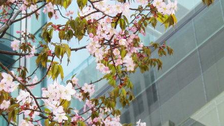 札幌シャンテ前の桜