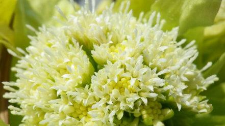 フキノトウの花