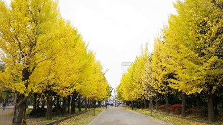 中島公園のイチョウ並木