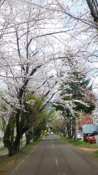 白石サイクリングロードの桜