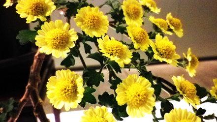 菊 盆栽仕立て