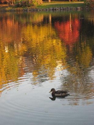 菖蒲池の鴨