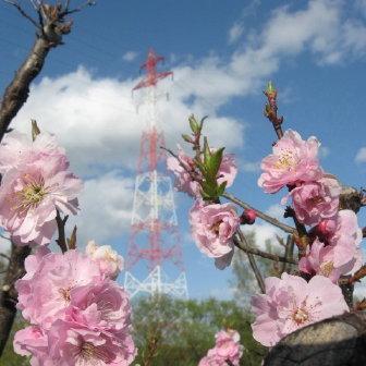 梅の花と紅白鉄塔