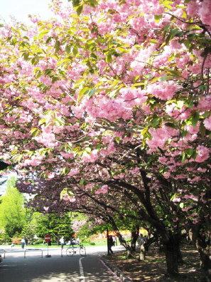 道庁の八重桜並木