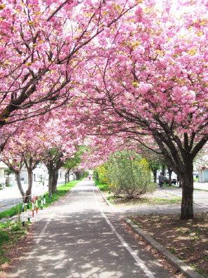 白石サイクリングロードの八重桜